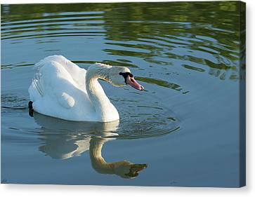 Swan Reflection Canvas Print