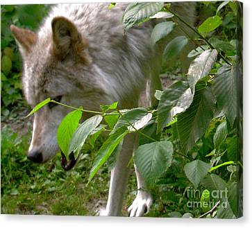 Canvas Print featuring the photograph The Wild Wolve Group B by Debra     Vatalaro
