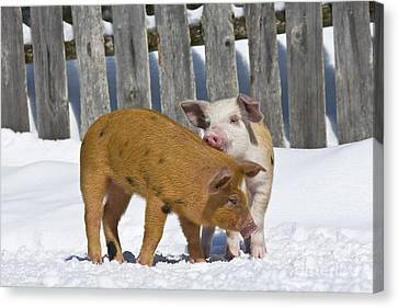 Litter Mates Canvas Print - Two Piglets Playing by Jean-Louis Klein & Marie-Luce Hubert