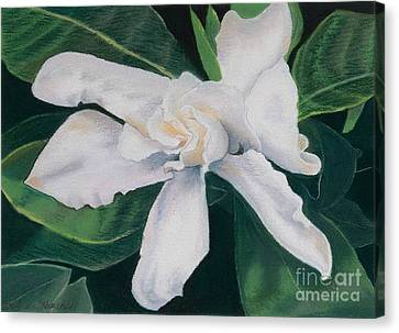 White Camelia Canvas Print by Lucinda  Hansen