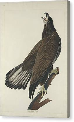 White Headed Eagle Canvas Print by Rob Dreyer