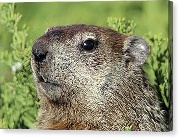 Woodchuck Calverton New York Canvas Print by Bob Savage