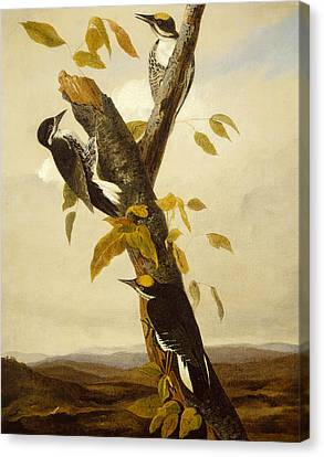 Woodpeckers Canvas Print by John James Audubon