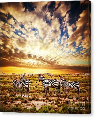 Zebras Herd On African Savanna At Sunset. Canvas Print