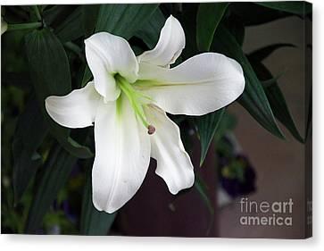 White Lily Canvas Print by Elvira Ladocki