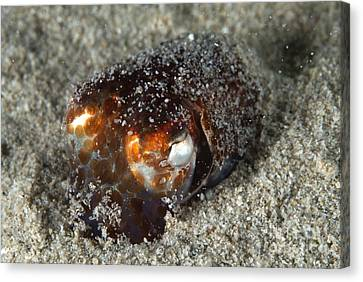 Atlantic Bobtail Squid Canvas Print