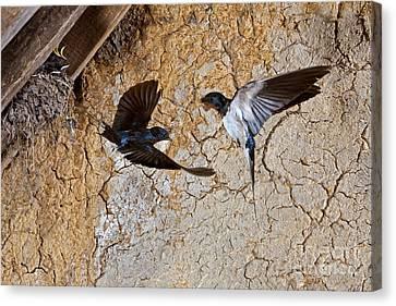 Barn Swallow Hirundo Rustica Canvas Print