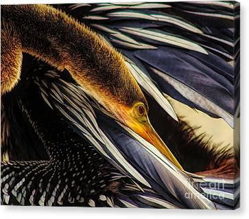 Canvas Print - Beautiful Anhinga by Paulette Thomas