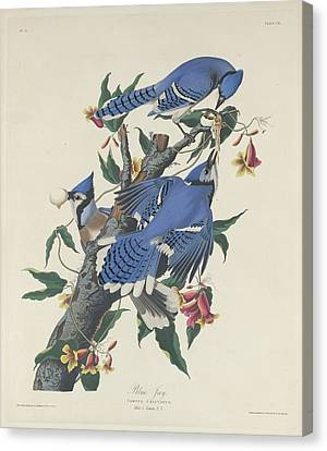 Blue Jay Canvas Print by Rob Dreyer