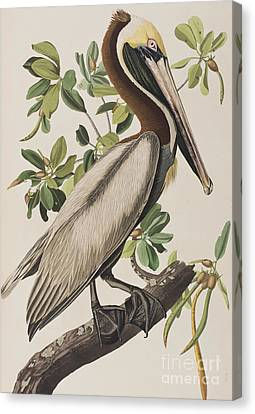 Brown Pelican  Canvas Print by John James Audubon