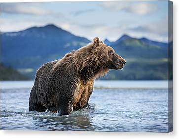 Coastal Brown Bear  Ursus Arctos Canvas Print by Paul Souders