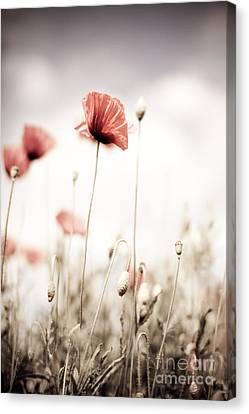 Corn Poppy Flowers Canvas Print