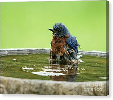 Eastern Bluebird Canvas Print