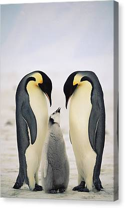 Emperor Penguin Family Canvas Print by Konrad Wothe