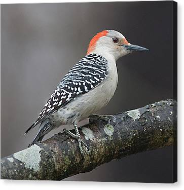 Female Red-bellied Woodpecker Canvas Print