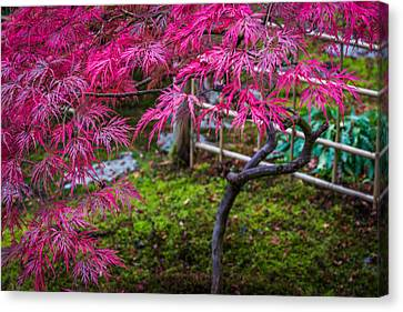 Japanese Maple Canvas Print by Calazone's Flics