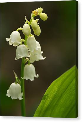 Lily Of The Valley Canvas Print by Odon Czintos
