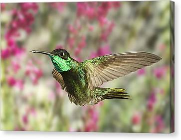 Magnificent Hummingbird Canvas Print by Gregory Scott