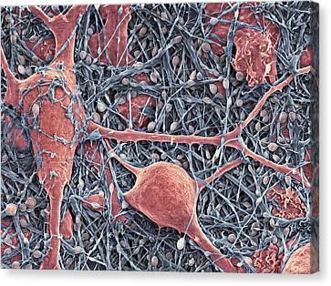 Nerve Cells And Glial Cells, Sem Canvas Print by Thomas Deerinck, Ncmir