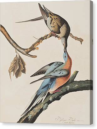 Passenger Pigeon Canvas Print by John James Audubon