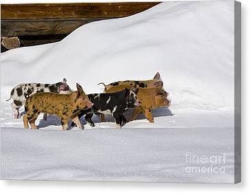 Litter Mates Canvas Print - Piglets In The Snow by Jean-Louis Klein & Marie-Luce Hubert