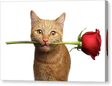 Portrait Of Ginger Cat Brought Rose As A Gift Canvas Print
