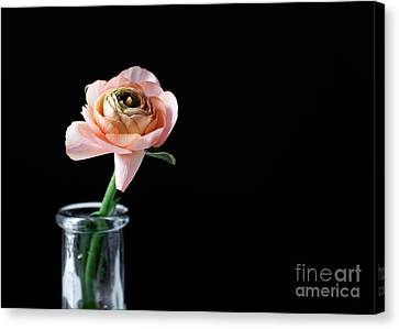 Ranunculus Canvas Print by Kati Molin