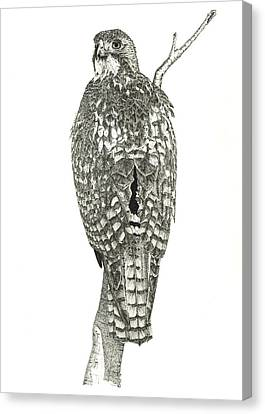 Red-tailed Hawk Canvas Print by Marcus England