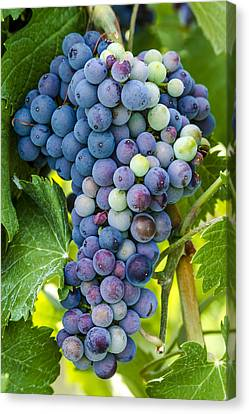 Red Wine Grapes Canvas Print by Teri Virbickis
