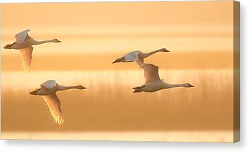 Canvas Print featuring the photograph 4 Swans by Kelly Marquardt