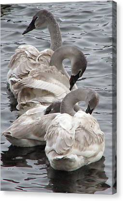 4 Swans Canvas Print by Laurie With