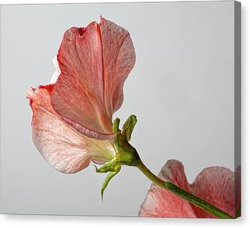 Sweet Pea Canvas Print by Robert Ullmann