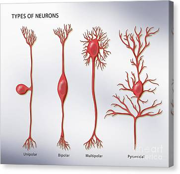 4 Types Of Neurons, Illustration Canvas Print by Monica Schroeder