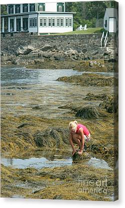 Young Girl Exploring A Maine Tidepool Canvas Print by Ted Kinsman