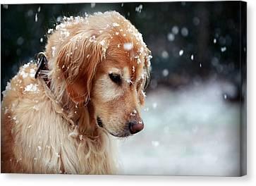 41855 Dog Golden Retriever In Snow Canvas Print