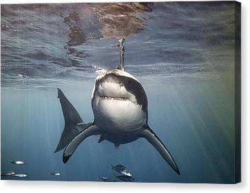 A Great White Shark Swims In Clear Canvas Print by Mauricio Handler