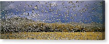 Geese Canvas Print - A Panoramic Of Thousands Of Migrating by Panoramic Images