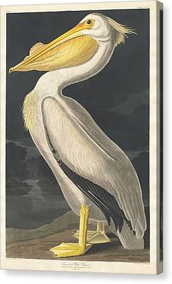 American White Pelican Canvas Print by Rob Dreyer