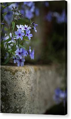 Phlox Canvas Print - Beautiful Image Of Wild Blue Phlox Flower In Spring Overflowing  by Matthew Gibson