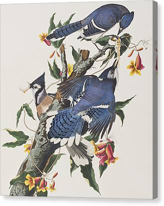 Blue Jay Canvas Print by John James Audubon