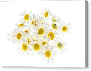 English Garden Canvas Print - Chamomile Flowers by Elena Elisseeva