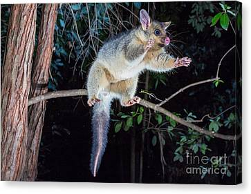 Common Brush-tailed Possum Canvas Print by B.G. Thomson