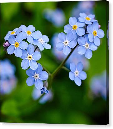 Forget Me Not Canvas Print by Jouko Lehto