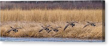 5 Geese Canvas Print by Paul Freidlund