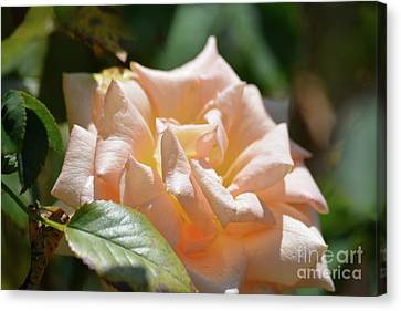 Gorgeous Rose Canvas Print by Ruth Housley