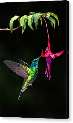 Green Violetear Colibri Thalassinus Canvas Print by Panoramic Images