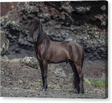 Icelandic Black Stallion, Iceland Canvas Print by Panoramic Images