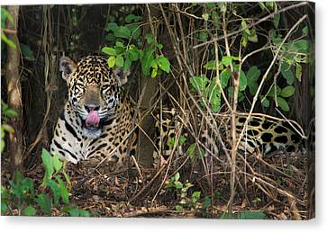 Jaguar Panthera Onca, Pantanal Canvas Print by Panoramic Images