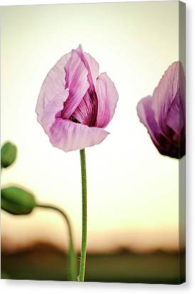 Pods Canvas Print - Lilac Poppy Flowers by Nailia Schwarz