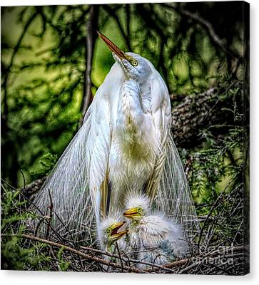 Canvas Print - Mama Egret With Her Babies by Paulette Thomas